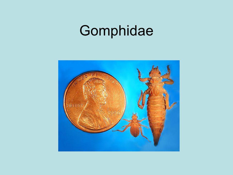 Gomphidae