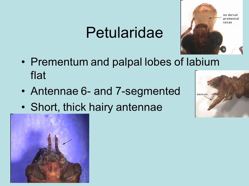 Petularidae Prementum and palpal lobes of labium flat Antennae 6- and 7-segmented Short, thick hairy antennae