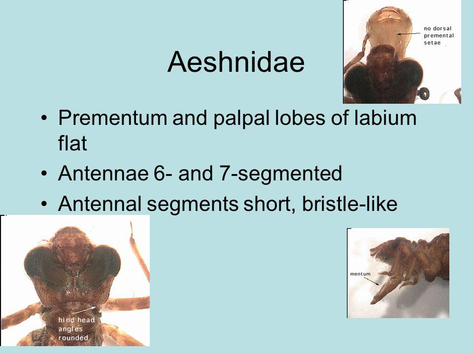 Prementum and palpal lobes of labium flat Antennae 6- and 7-segmented Antennal segments short, bristle-like Aeshnidae