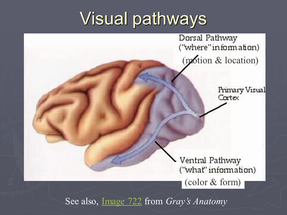 Visual pathways (motion & location) (color & form) See also, Image 722 from Gray's AnatomyImage 722