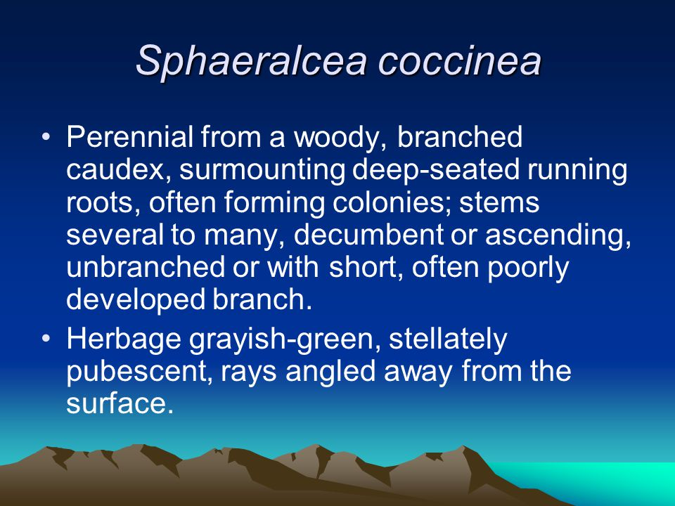Sphaeralcea coccinea Perennial from a woody, branched caudex, surmounting deep-seated running roots, often forming colonies; stems several to many, decumbent or ascending, unbranched or with short, often poorly developed branch.