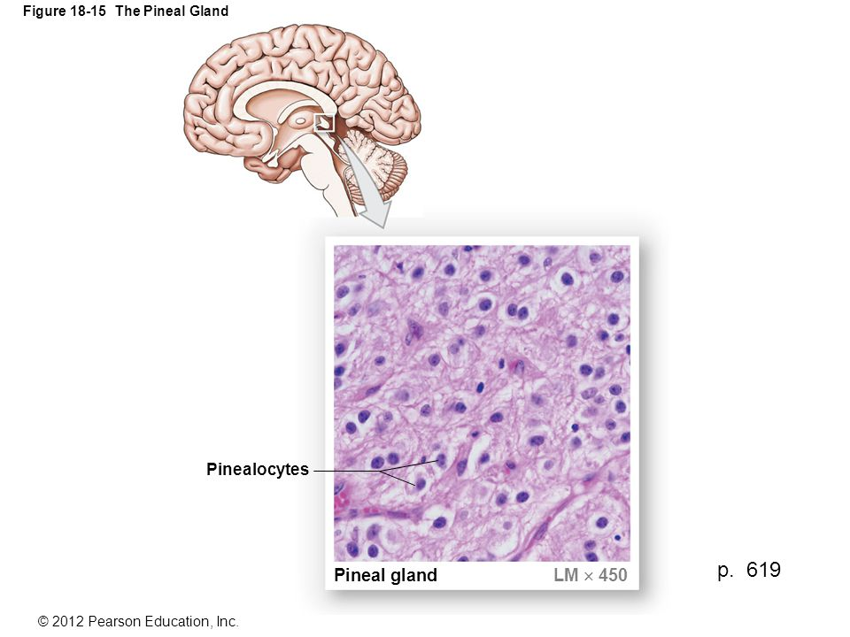 © 2012 Pearson Education, Inc.Figure 18-15 The Pineal Gland Pineal gland LM  450 Pinealocytes p.