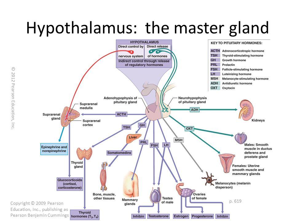 Hypothalamus: the master gland p.