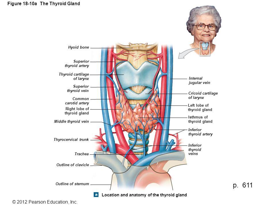 Figure 18-10a The Thyroid Gland Hyoid bone Superior thyroid artery Thyroid cartilage of larynx Superior thyroid vein Common carotid artery Right lobe of thyroid gland Middle thyroid vein Thyrocervical trunk Trachea Internal jugular vein Cricoid cartilage of larynx Left lobe of thyroid gland Isthmus of thyroid gland Inferior thyroid artery Inferior thyroid veins Outline of clavicle Outline of sternum Location and anatomy of the thyroid gland p.