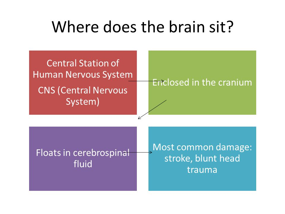Where does the brain sit.