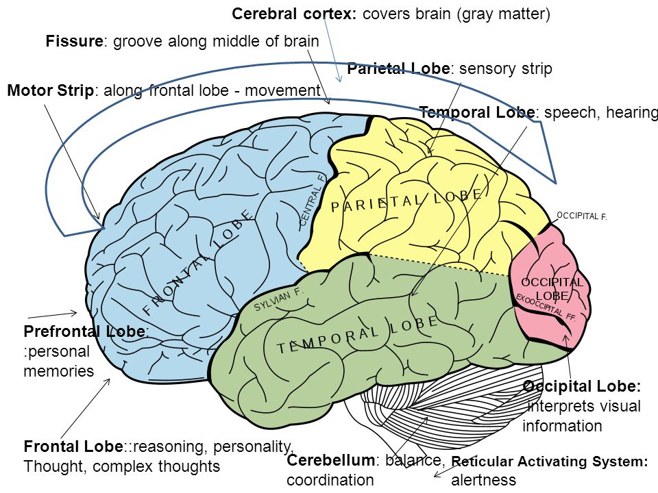 Fissure: groove along middle of brain Frontal Lobe::reasoning, personality, Thought, complex thoughts Parietal Lobe: sensory strip Motor Strip: along frontal lobe - movement Occipital Lobe: interprets visual information Temporal Lobe: speech, hearing Prefrontal Lobe: :personal memories Cerebellum: balance, coordination Reticular Activating System: alertness Cerebral cortex: covers brain (gray matter)