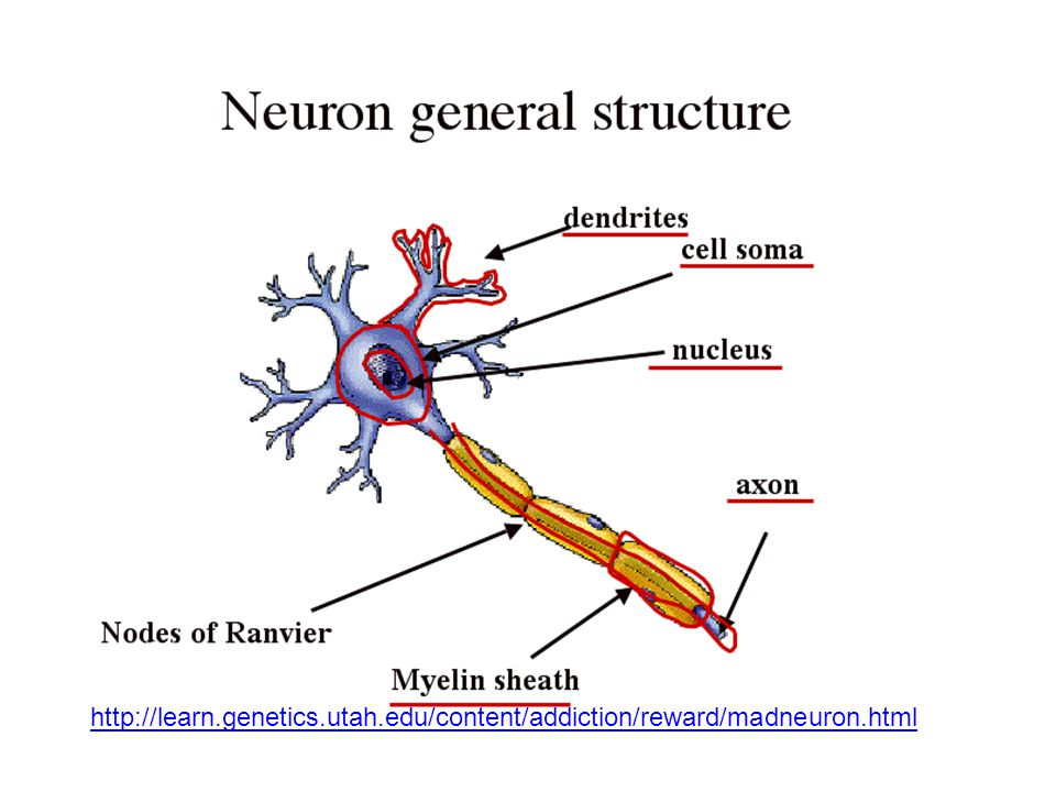http://learn.genetics.utah.edu/content/addiction/reward/madneuron.html
