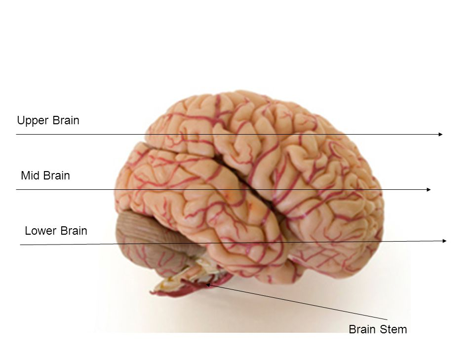 Brain Stem Mid Brain Lower Brain Upper Brain