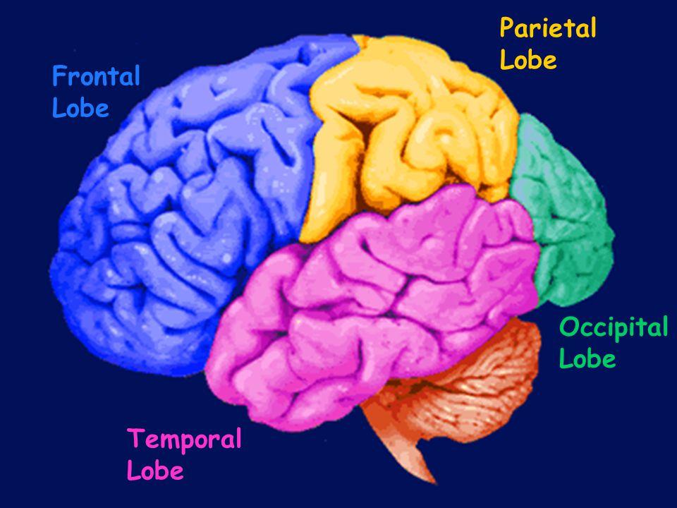 Frontal Lobe Parietal Lobe Temporal Lobe Occipital Lobe