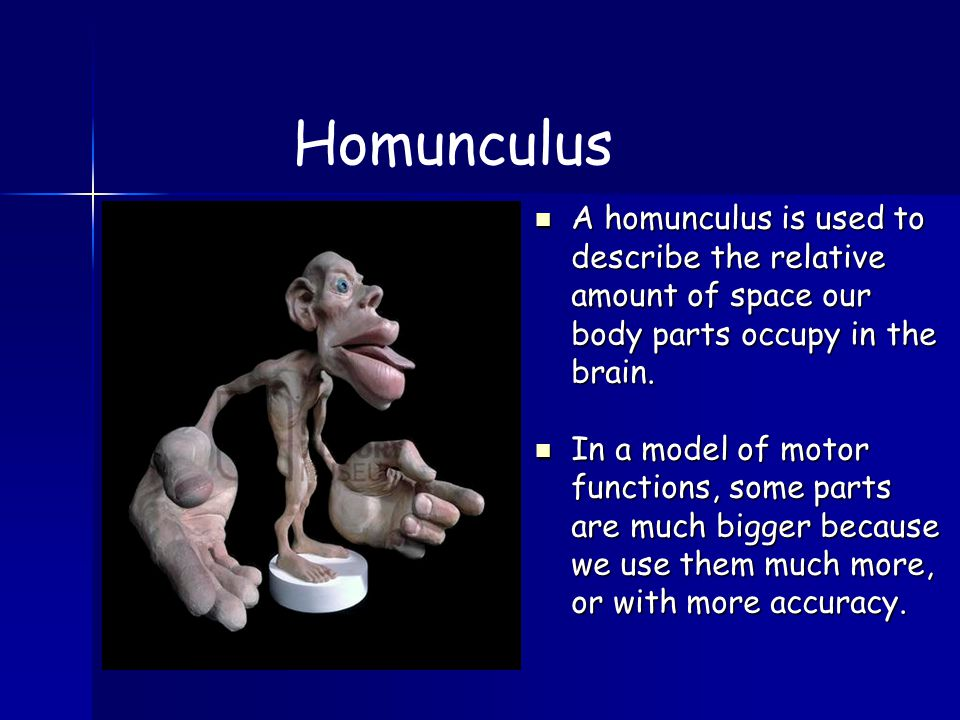 A homunculus is used to describe the relative amount of space our body parts occupy in the brain.