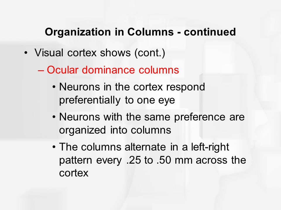 Organization in Columns - continued Visual cortex shows (cont.) –Ocular dominance columns Neurons in the cortex respond preferentially to one eye Neurons with the same preference are organized into columns The columns alternate in a left-right pattern every.25 to.50 mm across the cortex