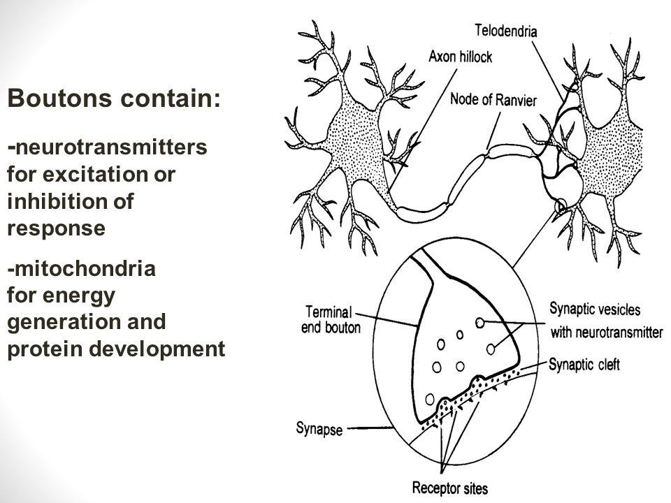 Presynaptic neurons Postsynaptic neurons