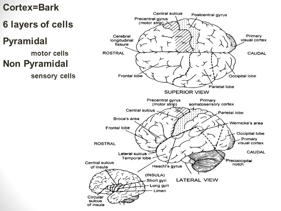 Lesion Studies Global Aphasia: Damage to both Wernicke's and Broca's Area and some sub cortical structures Both receptive and expressive functions are severely impaired