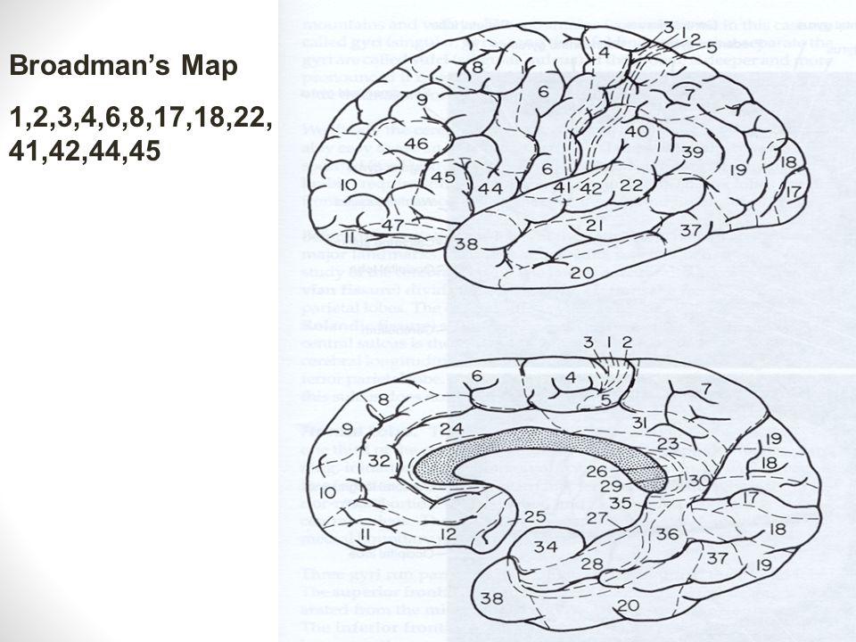 Fissure Gyri Sulci Frontal Lobe precentral gyrus supplemental motor area inf.