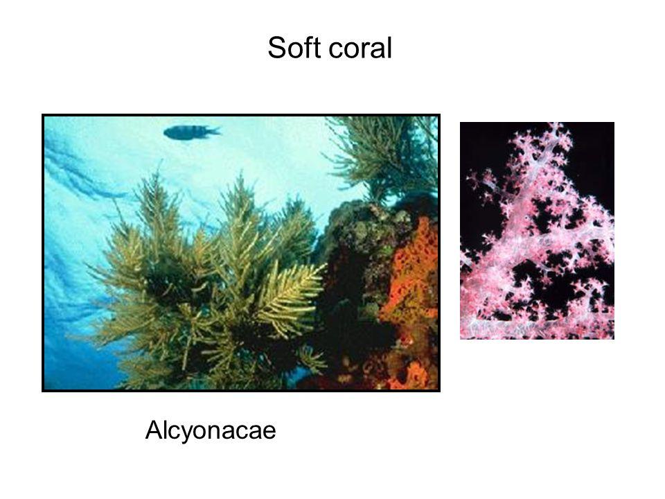Alcyonacae Soft coral