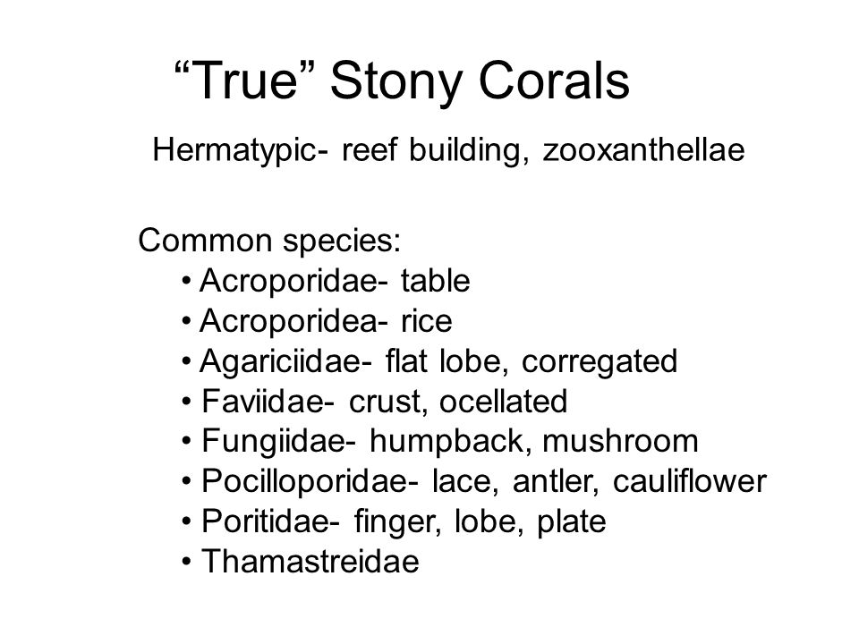 """True"" Stony Corals Hermatypic- reef building, zooxanthellae Common species: Acroporidae- table Acroporidea- rice Agariciidae- flat lobe, corregated F"