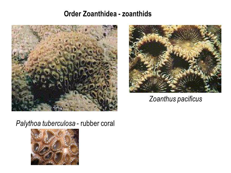 Order Zoanthidea - zoanthids Palythoa tuberculosa - rubber coral Zoanthus pacificus