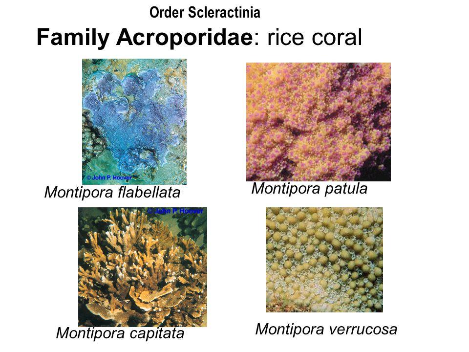 Family Acroporidae: rice coral Montipora flabellata Montipora patula Montipora capitata Montipora verrucosa Order Scleractinia