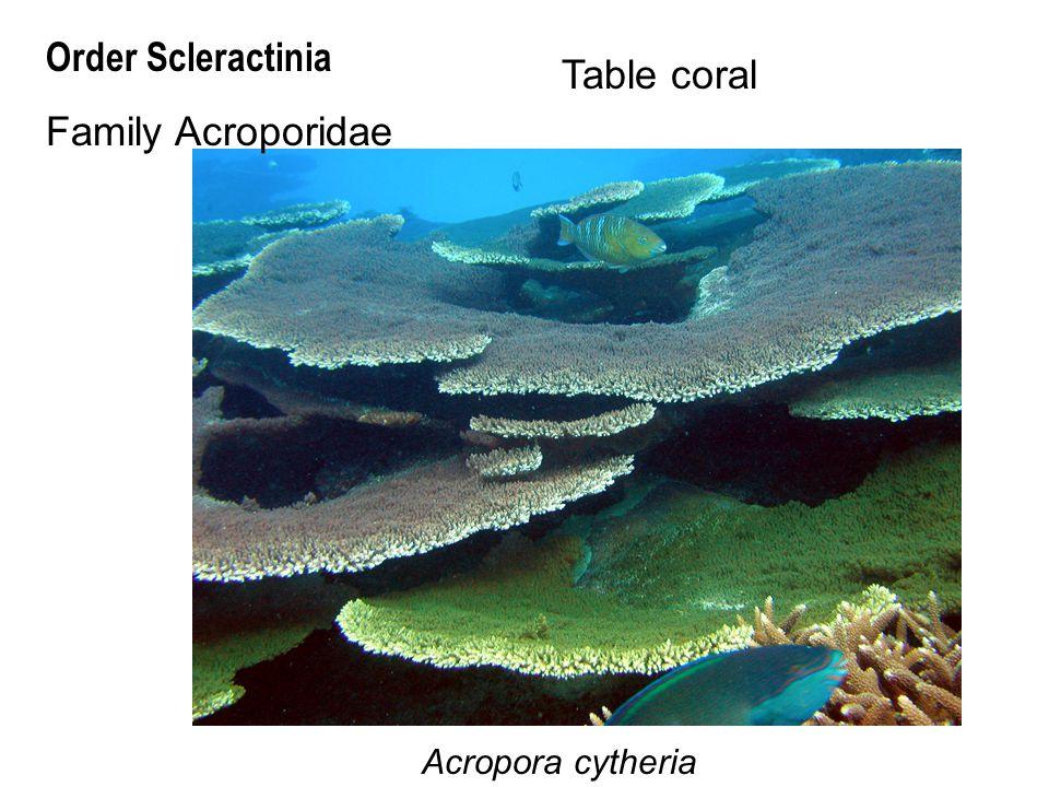 Acropora cytheria Order Scleractinia Family Acroporidae Table coral
