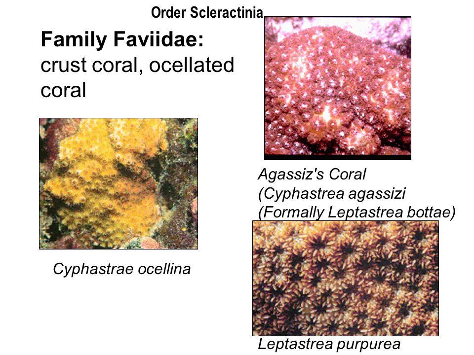 Family Faviidae: crust coral, ocellated coral Cyphastrae ocellina Agassiz's Coral (Cyphastrea agassizi (Formally Leptastrea bottae) Leptastrea purpure