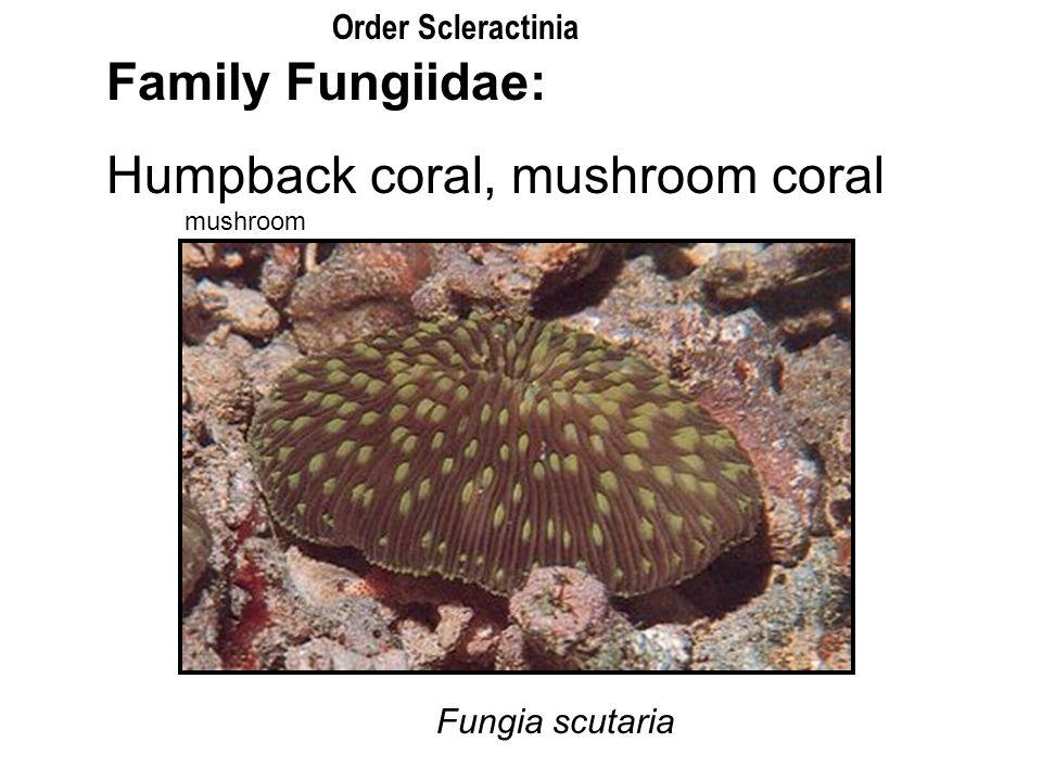 Family Fungiidae: Humpback coral, mushroom coral Fungia scutaria mushroom Order Scleractinia