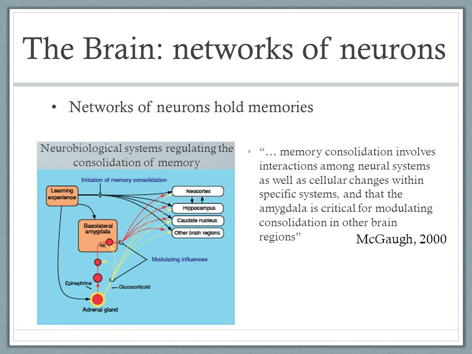 McGaugh, 2000 … memory consolidation involves interactions among neural systems as well as cellular changes within specific systems, and that the amygdala is critical for modulating consolidation in other brain regions Neurobiological systems regulating the consolidation of memory Networks of neurons hold memories The Brain: networks of neurons