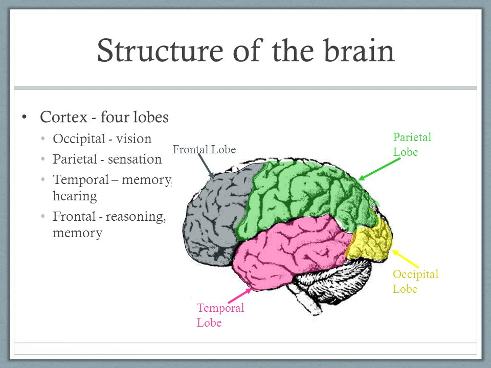 Structure of the brain Cortex - four lobes Occipital - vision Parietal - sensation Temporal – memory, hearing Frontal - reasoning, memory Frontal Lobe Temporal Lobe Occipital Lobe Parietal Lobe