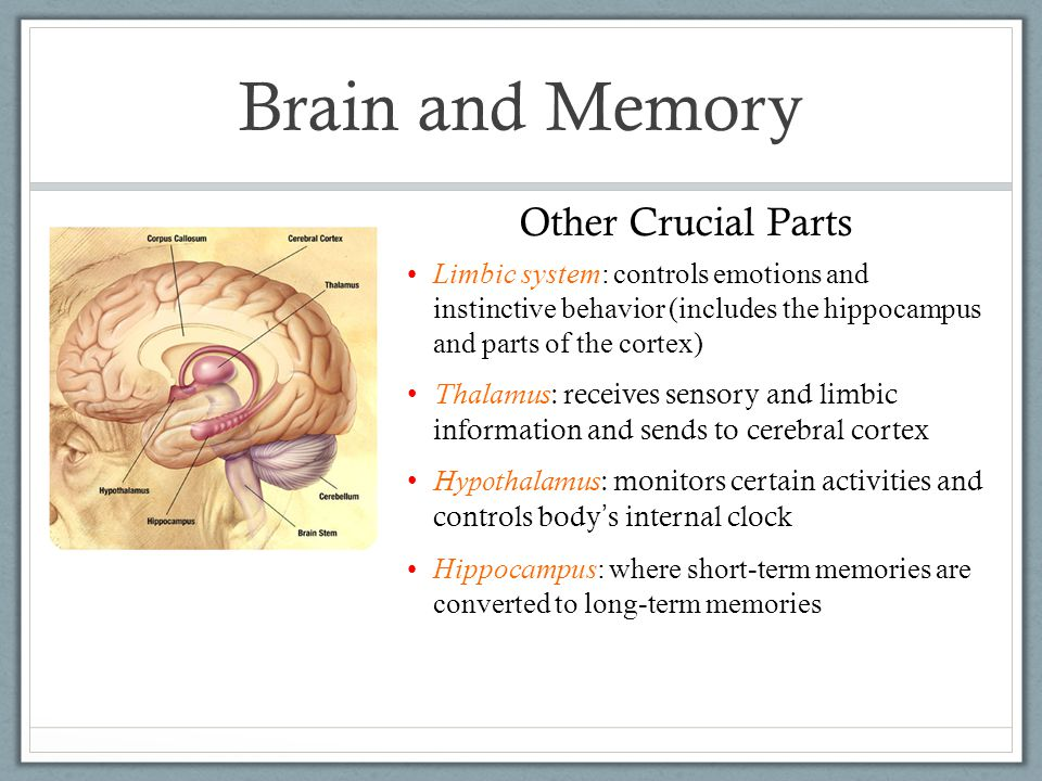 Limbic system: controls emotions and instinctive behavior (includes the hippocampus and parts of the cortex) Thalamus : receives sensory and limbic information and sends to cerebral cortex Hypothalamus : monitors certain activities and controls body's internal clock Hippocampus: where short-term memories are converted to long-term memories Other Crucial Parts Brain and Memory