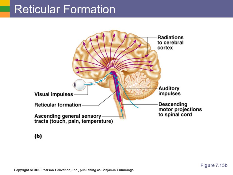 Copyright © 2006 Pearson Education, Inc., publishing as Benjamin Cummings Reticular Formation Figure 7.15b