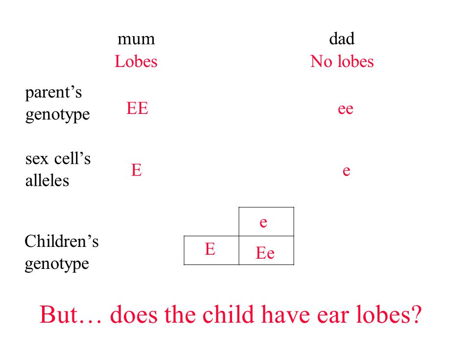 mumdad parent's genotype EEee sex cell's alleles Ee But… does the child have ear lobes.