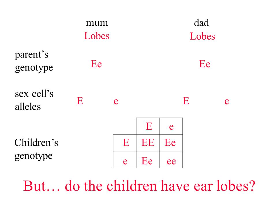 mum dad parent's genotype Ee sex cell's alleles Ee But… do the children have ear lobes.