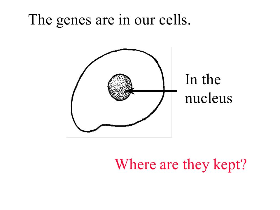 The genes are in our cells. Where are they kept In the nucleus