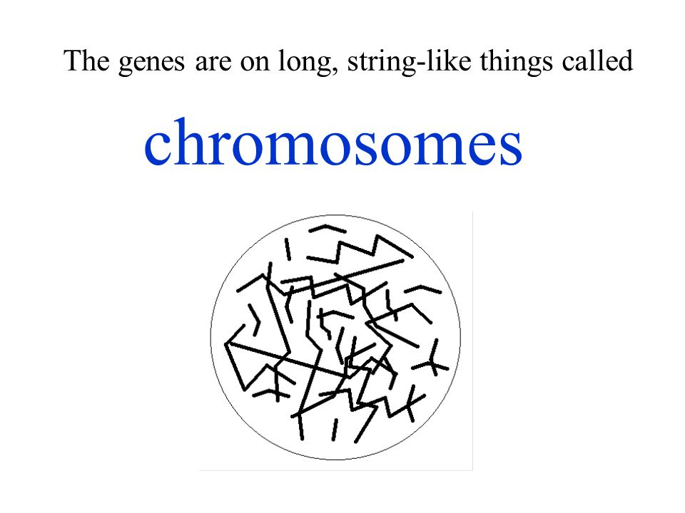 The genes are on long, string-like things called chromosomes
