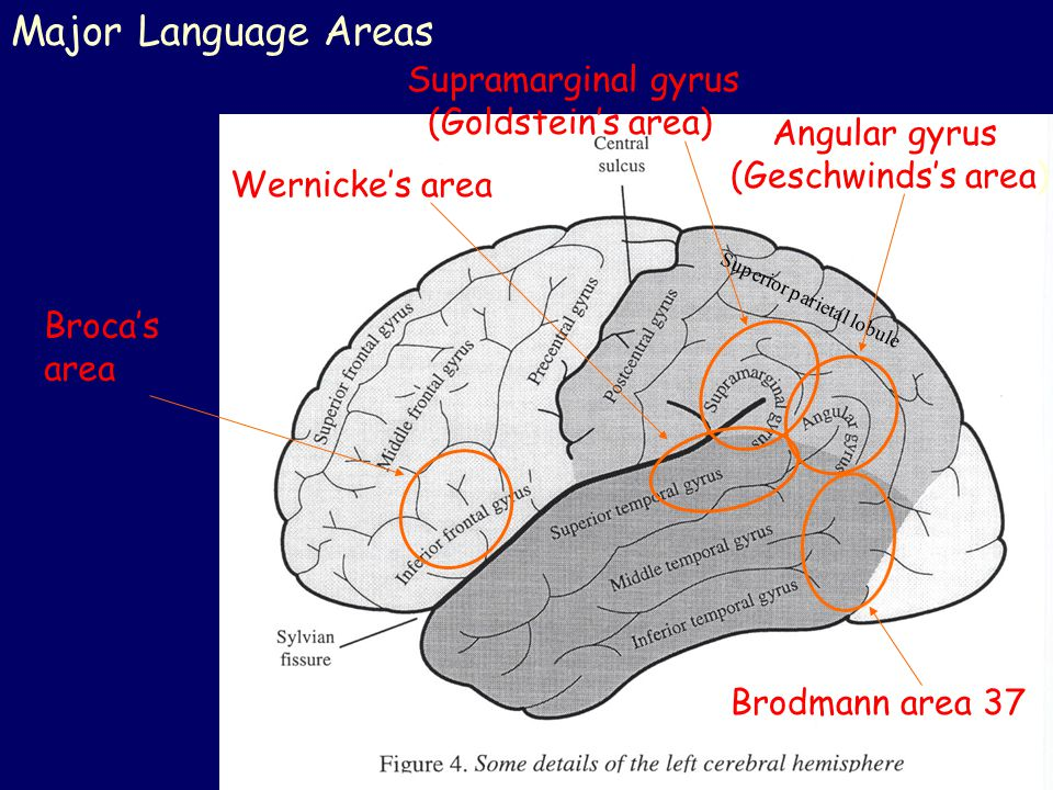 Major Language Areas Superior parietal lobule Broca's area Wernicke's area Angular gyrus (Geschwinds's area) Supramarginal gyrus (Goldstein's area) Br