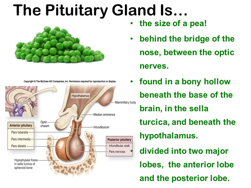 The Pituitary Gland Is… the size of a pea. behind the bridge of the nose, between the optic nerves.