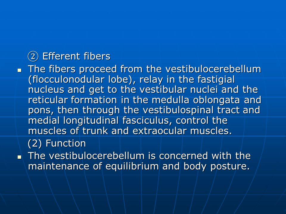 ② Efferent fibers ② Efferent fibers The fibers proceed from the vestibulocerebellum (flocculonodular lobe), relay in the fastigial nucleus and get to