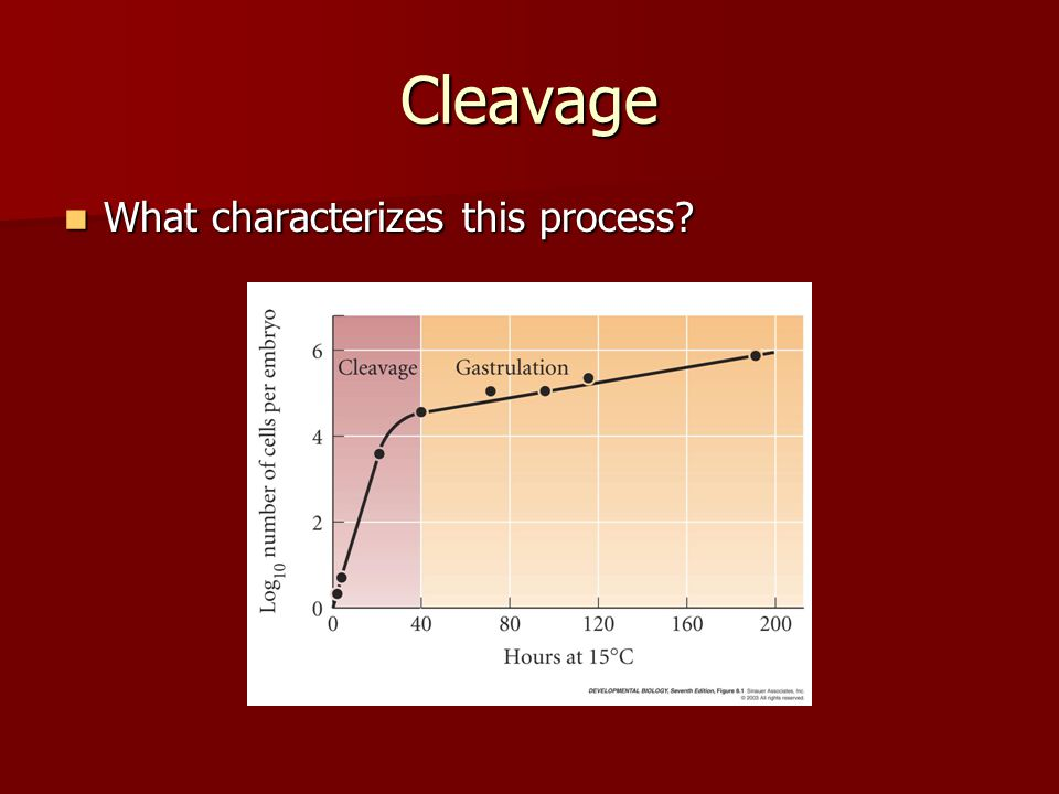Cleavage How does the cell cycle of blastomeres compare with that of somatic cells.
