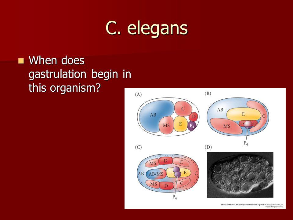 C. elegans When does gastrulation begin in this organism? When does gastrulation begin in this organism?