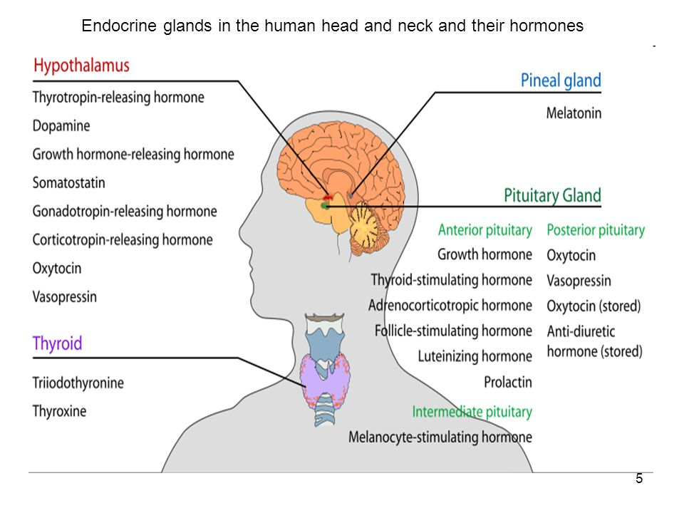 5 Endocrine glands in the human head and neck and their hormones