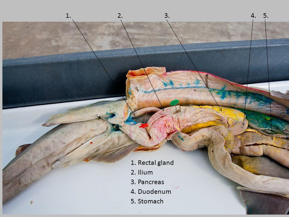 1. 2. 3. 4. 5. 1. Rectal gland 2. Ilium 3. Pancreas 4. Duodenum 5. Stomach