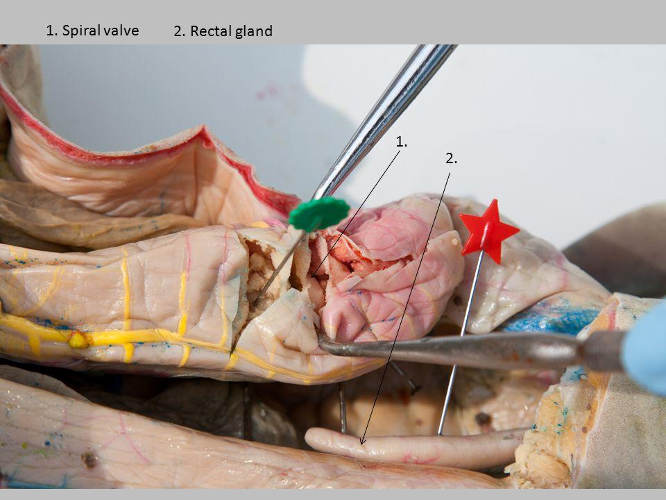 1. 2. 1. Spiral valve 2. Rectal gland