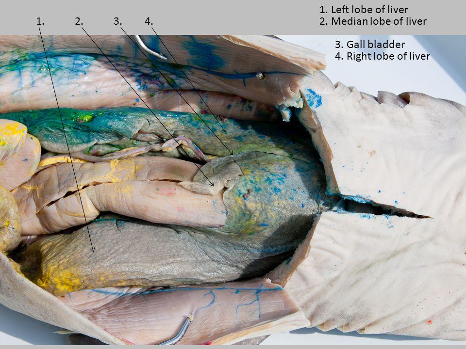 1.2.3.4. 1. Left lobe of liver 2. Median lobe of liver 3. Gall bladder 4. Right lobe of liver