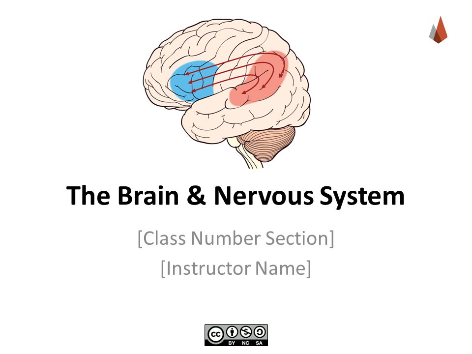The Brain & Nervous System [Class Number Section] [Instructor Name]