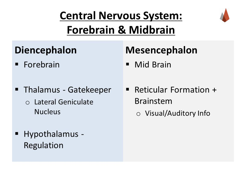 Central Nervous System: Forebrain & Midbrain Diencephalon  Forebrain  Thalamus - Gatekeeper o Lateral Geniculate Nucleus  Hypothalamus - Regulation Mesencephalon  Mid Brain  Reticular Formation + Brainstem o Visual/Auditory Info