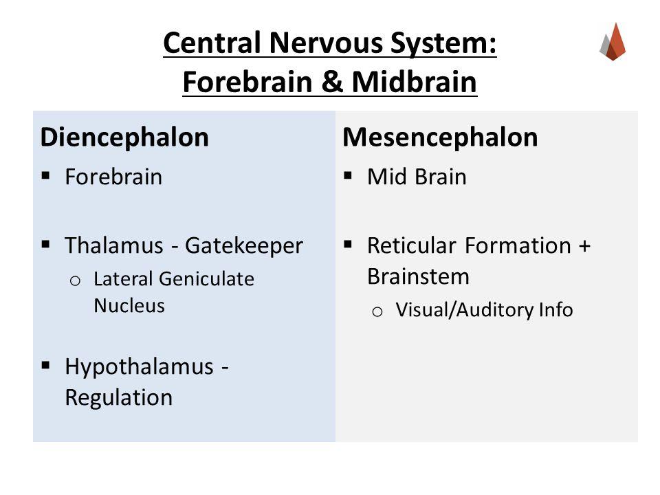 Central Nervous System: Forebrain & Midbrain Diencephalon  Forebrain  Thalamus - Gatekeeper o Lateral Geniculate Nucleus  Hypothalamus - Regulation Mesencephalon  Mid Brain  Reticular Formation + Brainstem o Visual/Auditory Info