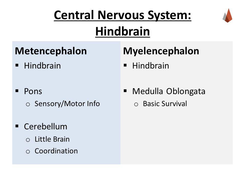 Central Nervous System: Hindbrain Metencephalon  Hindbrain  Pons o Sensory/Motor Info  Cerebellum o Little Brain o Coordination Myelencephalon  Hindbrain  Medulla Oblongata o Basic Survival