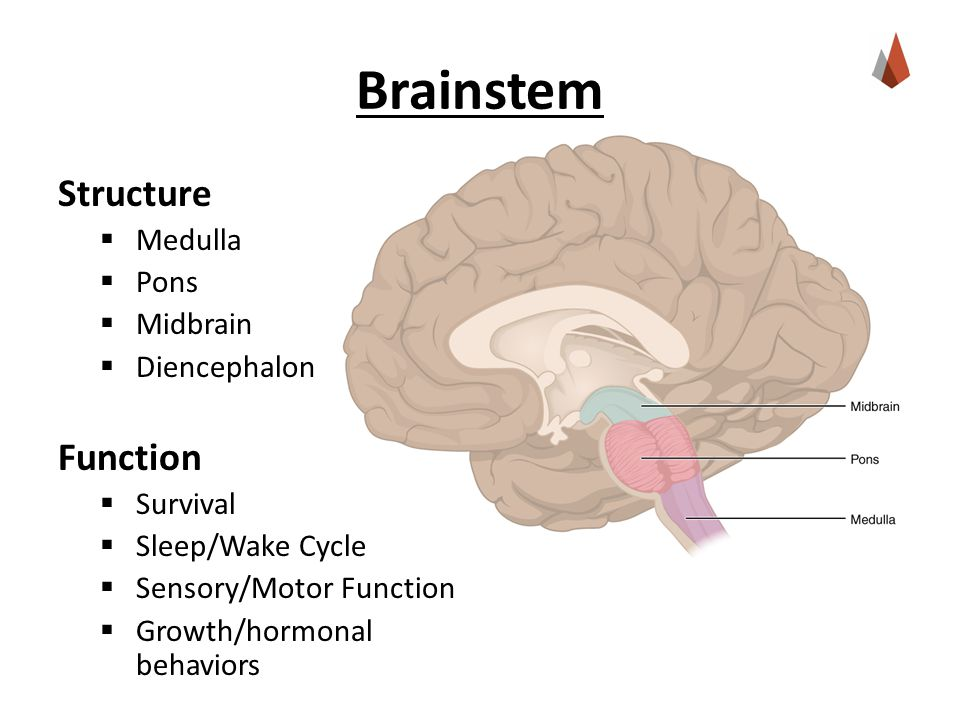 Brainstem Structure  Medulla  Pons  Midbrain  Diencephalon Function  Survival  Sleep/Wake Cycle  Sensory/Motor Function  Growth/hormonal behaviors