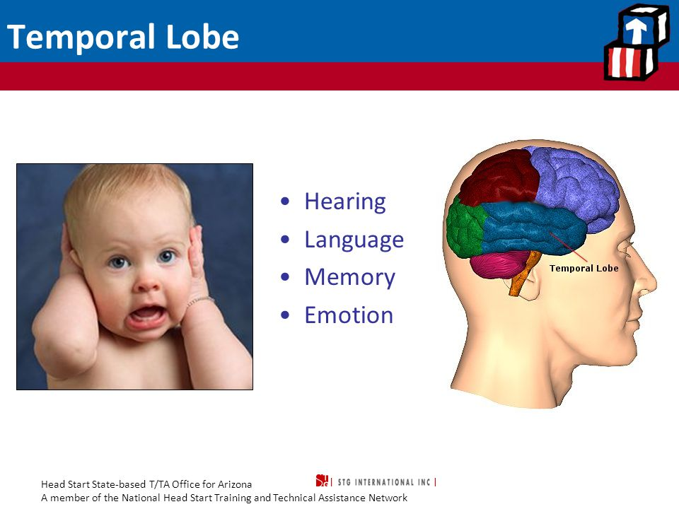 Head Start State-based T/TA Office for Arizona A member of the National Head Start Training and Technical Assistance Network Temporal Lobe Hearing Language Memory Emotion