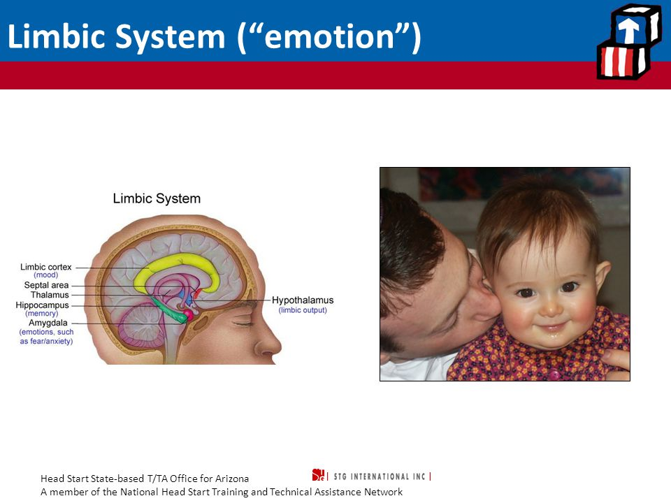 """Head Start State-based T/TA Office for Arizona A member of the National Head Start Training and Technical Assistance Network Limbic System (""""emotion"""")"""