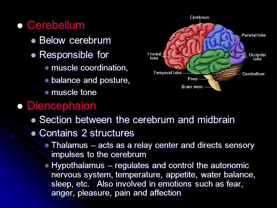 Cerebellum Cerebellum Below cerebrum Below cerebrum Responsible for Responsible for muscle coordination, muscle coordination, balance and posture, bal